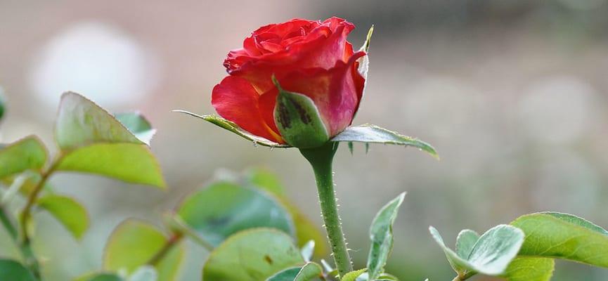 Kandungan Bunga Mawar Yang Bikin Cantik Bersinar Doktersehat