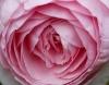 1360122 rose Menjadi Korban Pemerkosaan Bukanlah Akhir Segalanya
