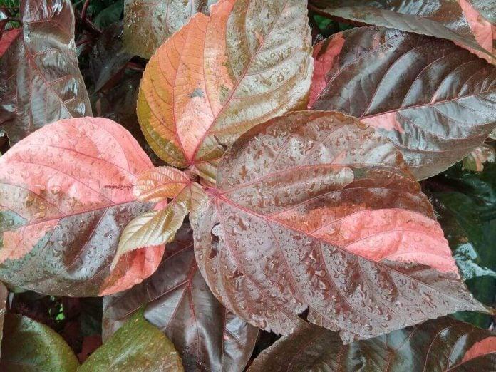 Doktersehat-manfaat-daun-sirih-merah