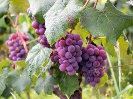 doktersehat-manfaat-daun-anggur