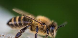 disengat-lebah-doktersehat