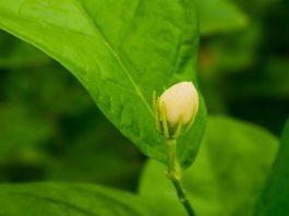 Bunga-melati-manfaat-doktersehat-1