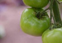 Tomat-hijau-doktersehat-1