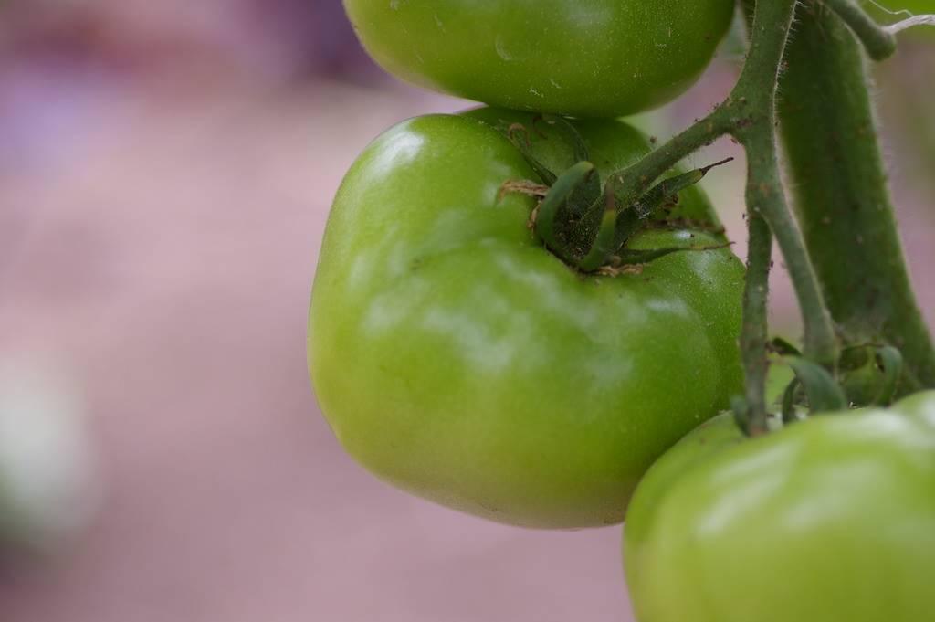 Tak Usah Tunggu Matang, Tomat Hijau Ternyata Banyak Manfaatnya!