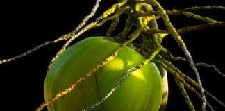 manfaat-air-kelapa-hijau-doktersehat