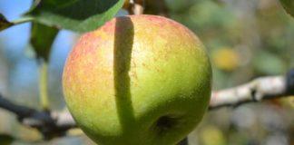 apel_malang_hijau_diabetes_1