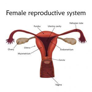 sistem-reproduksi-wanita-doktersehat