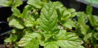 daun-stevia-diabetes-doktersehat