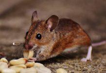 demam-digigit-tikus-doktersehat