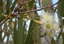 daun-eukaliptus-doktersehat