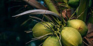 kelapa-hijau-doktersehat