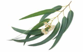 15 Manfaat Eucalyptus untuk Kesehatan, Redakan Batuk hingga Antibakteri!