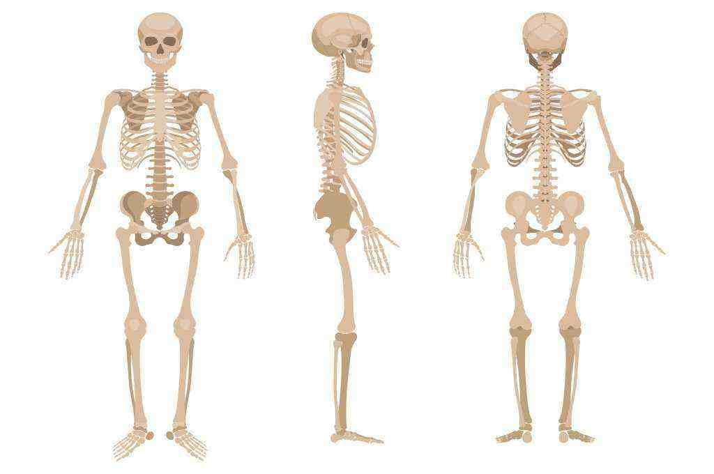 Rangka Manusia dan Fungsinya – Anatomi Tubuh Lengkap