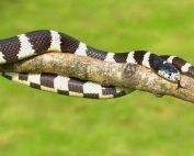 ular-weling-doktersehat