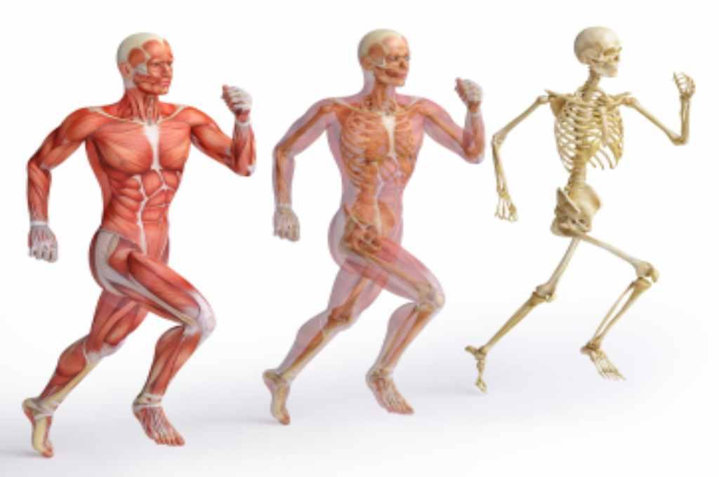 Sistem Gerak pada Manusia: Anatomi, Fungsi, Jenis, dll
